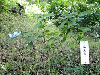 Ajisai201006228